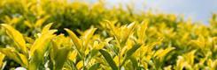 中国黄茶交易网