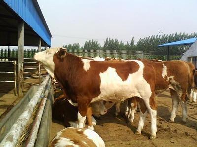 出售西门塔尔小牛犊价格