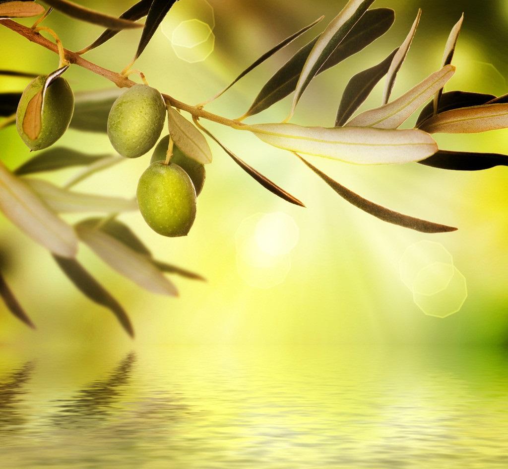 意大利遭病菌侵袭 千万棵橄榄树被砍伐