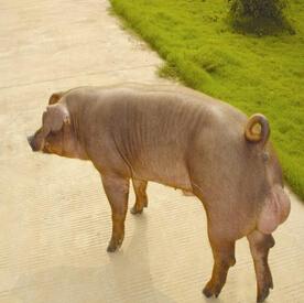 供应 新美系杜洛克公猪