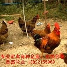 新陂麻鸡苗出售,国内专业新陂麻鸡种批发,广东新陂麻鸡苗价格