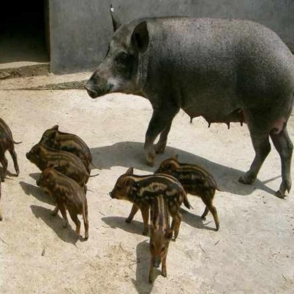 供应 纯种野猪 种苗/ 特种野猪 种苗 原生态野猪肉