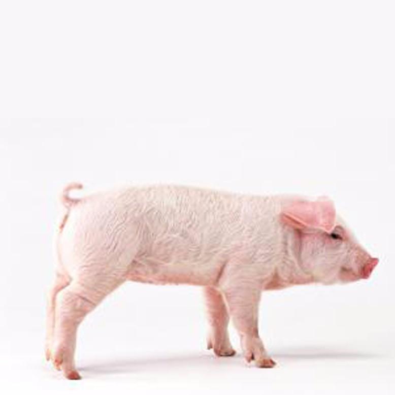 生猪供应 优质生猪厂家直供