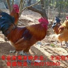 土杂鸡苗价格行情,种鸡场诚招土杂鸡苗批发经销商