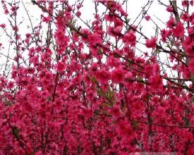 红叶碧桃栽培批发基地,红叶桃出售