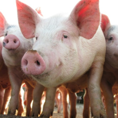 信达养殖专业合作社 供应农户自养生猪