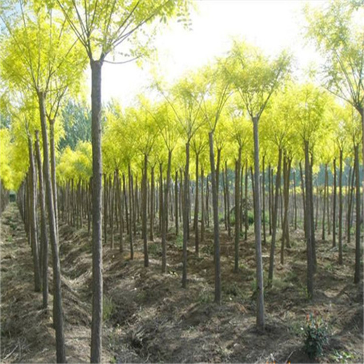 速生老式槐树 20公分 30公分国槐 基地直销 截杆干发帽