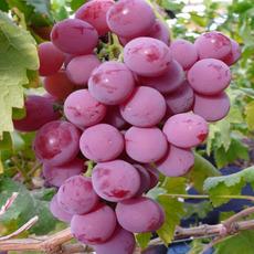 供应新鲜水果红提葡萄果红提子新鲜孕妇有机水果