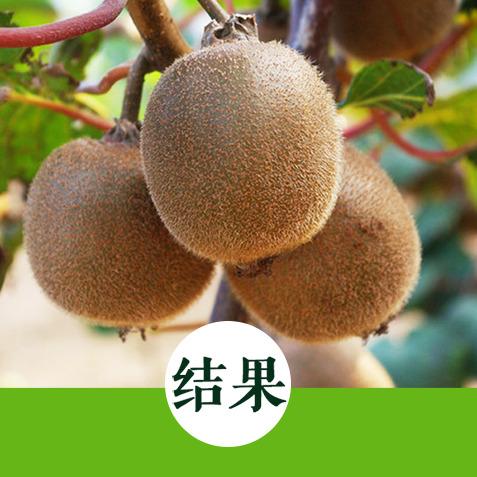 蓝崖蜜   黄心猕猴桃    糖含量高达16%    营养丰富味道好