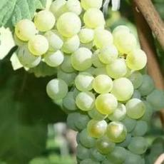 白葡萄浓缩汁美国原装进口浓缩果汁厂家直供22