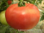 有机优质 大番茄