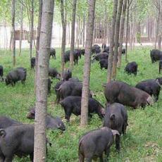 供应生猪、黑猪