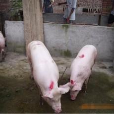 供应 特价三元猪生猪 高品质三元猪