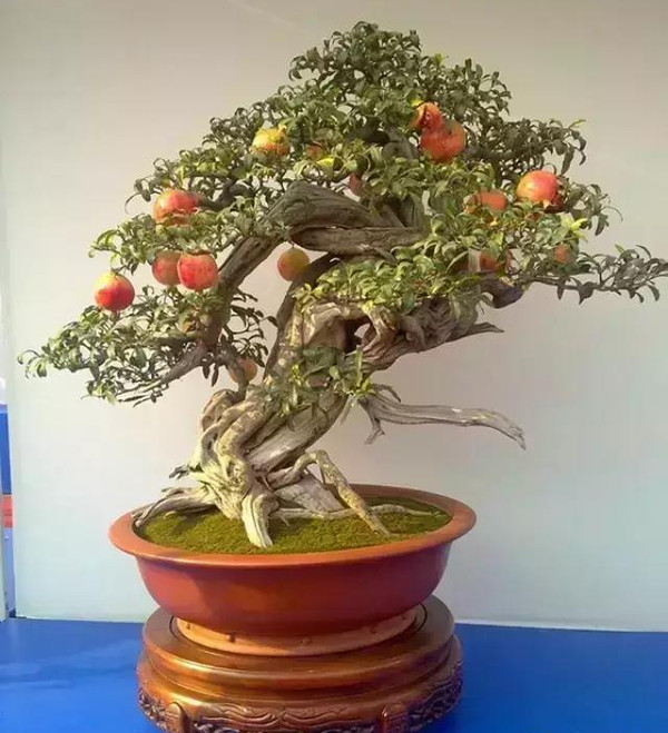 盆栽石榴春季养护工艺!