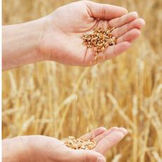 安徽农耕种业有限公司 优质小麦种子