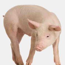长白猪猪崽 小猪销售