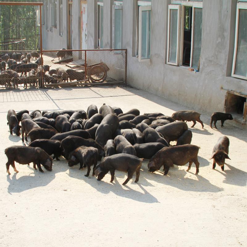 宾县宁远鑫源藏香猪生态 肉猪