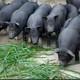 不吃一口饲料 纯粮食 喂养的土猪 新鲜猪肉...