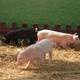 常年养殖、购买、销售生态生猪、仔猪、种猪,百分百生态绿色农产品