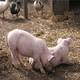 常年供应武胜生态猪,仔猪,生态养殖,健康放心