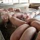 种猪养殖、销售、购买,专职生态养殖