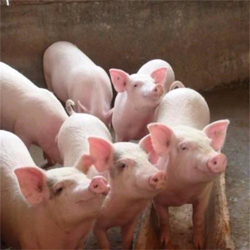 供应 生态猪 农家土猪 生猪 肉猪