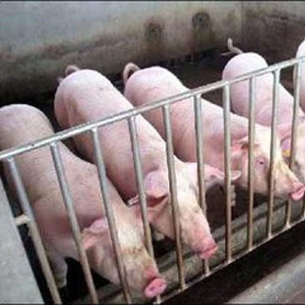百牧园农家养殖鲜活的生态猪