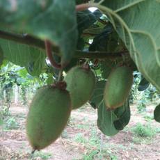 精品翠香猕猴桃