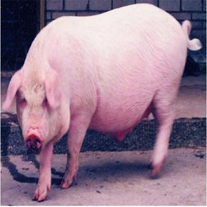 厂家直销 :大批量优质的种猪销售
