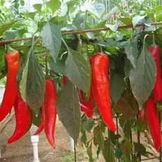 供应新鲜上市油椒  辣椒种植面积2万多亩