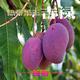 新鲜攀枝花芒果热带吉禄芒娇娇水果乐园出品5斤8斤装皮薄多汁吉禄芒