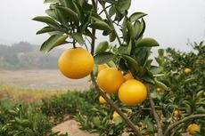 农家优质桔柚树苗  产果率高  果实饱满甘甜
