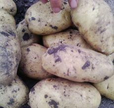 黑龙江马铃薯批发供应