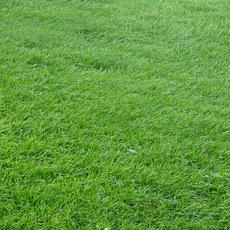 草坪黑麦草 萌芽早 成坪快 互补性强 混播草种首选
