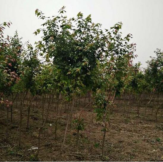 优质五角枫 找鄢陵聚金缘园林基地