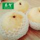 陕西特产蒲城酥梨自有基地种植好吃甜多汁有机新鲜水果酥梨10斤装包邮