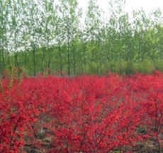 园林绿化苗木 红枫嫁接树苗 红枫小苗