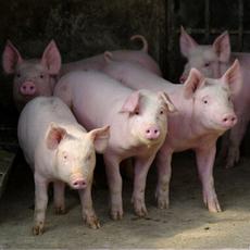供应优质生猪 品种优良 肉质细腻 肉瘦整猪 欢迎订购