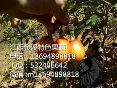 金溪基地直供新鲜大果树蛋果果实