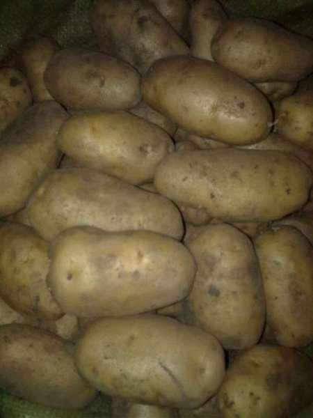 讷河黄皮黄肉菜豆