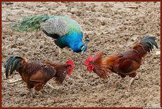 斗鸡   鲁西斗鸡   斗鸡品种   斗鸡价格