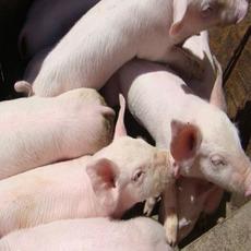 赵龙强养殖家庭农场 供应三元猪生猪