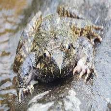 供应石蛙棘胸蛙 养于溪水林涧 水中人参滋补佳品