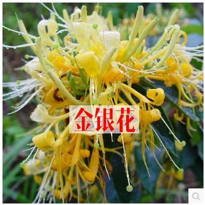 阳台种花盆栽花种子 金银花种子中草药花朵 可食用泡茶
