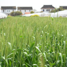 厂价直销 绿色无污染小麦 健康有机粮 富硒小麦