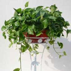 供应环保植物 绿萝