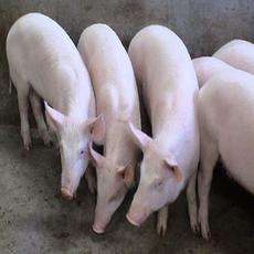 供应 优质长白猪 仔猪 农家自养