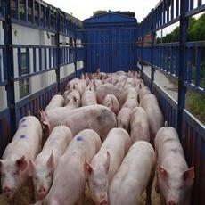 供应普通杂猪