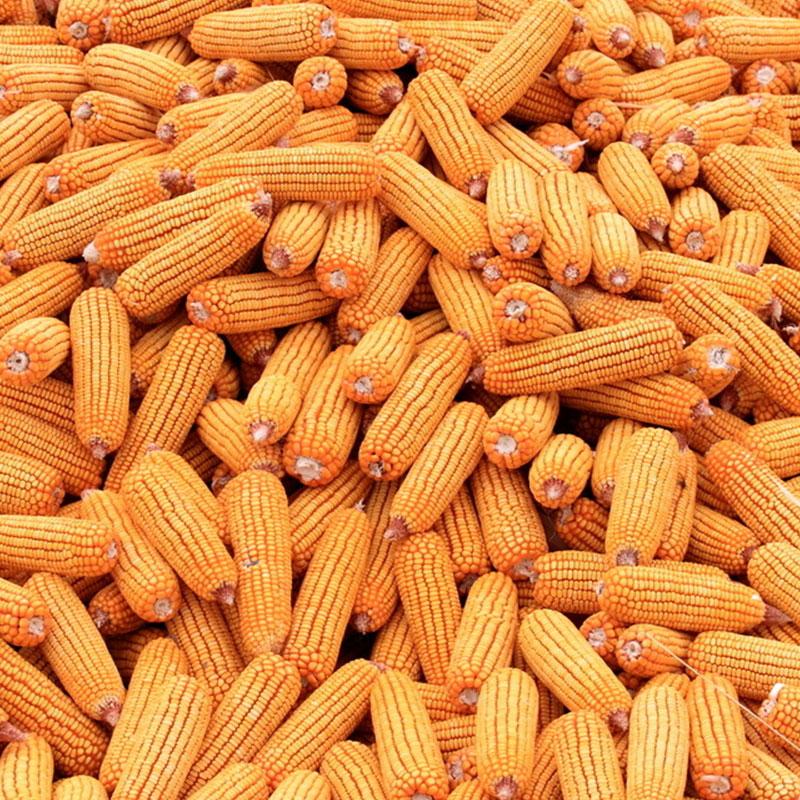 玉米 健康有机粮绿色无污染玉米