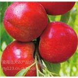 辽宁甜口油桃大量上市中 油桃价格走低